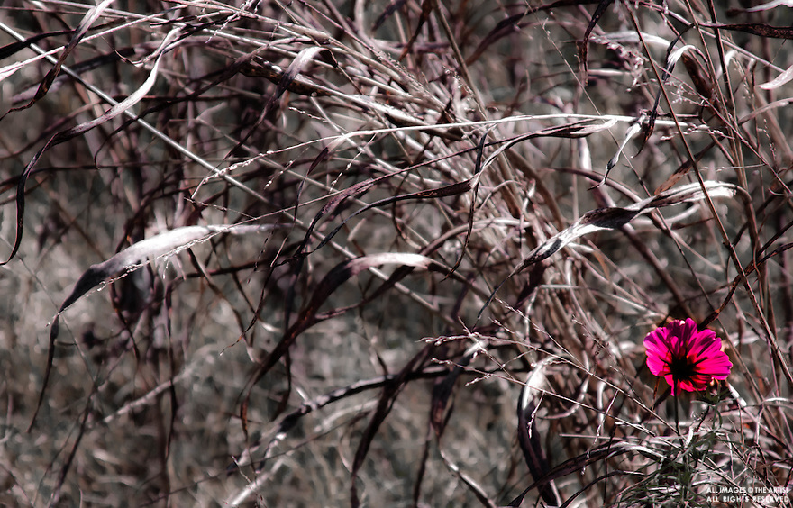 Dead grass and pink blossom in wind