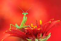 Praying Mantis (Mantis sp.), young perched on Indian Blanket/Fire Wheel (Gaillardia pulchella), Dinero, Lake Corpus Christi, South Texas, USA