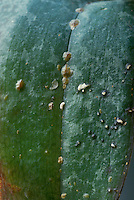 Hard shell scale insect pest on dessicated orchid leaf plant problem