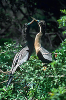 506007047 a mated pair of breeding plumaged anhingas anhinga anhinga with their brilliant blue eyes interact in a small tree on sanibel island off coast of florida