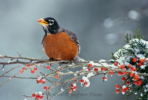 Robin, Turdus migratorius, on snowy winter branch of holly holding berry in mouth