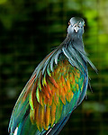 A Nicobar Pigeon (Caloenas nicobarica) shows off iridescent plumage at the Bali Bird Park
