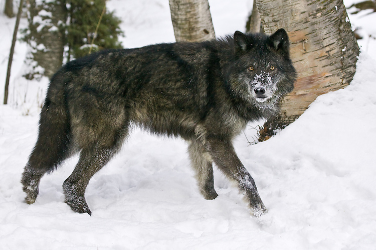Grey Wolf standing and watching in the snow - CA