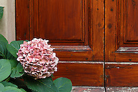 Hydrangea Flower in front of door, Mantalcino, Tuscany, Italy.