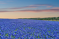 We capture this of this colorful sky at sunset over these fields of bluebonnets. We like the way the clouds pick up the pinks and oranges from the sun as it set over this landscape of endless field of blue wildflowers.