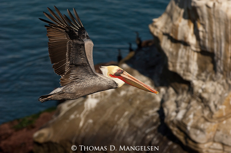 Brown Pelican flying along the La Jolla coast in California.