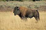 Wildlife - Bison