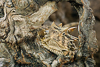 437850007 a wild texas horned lizard phrynosoma cornatum a state listed threatened species sits in a hollowed out portion of a dead mesquite tree log in the rio grande valley of south texas