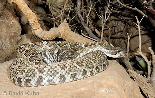 0419-1001  Southern Pacific Rattlesnake (Black Diamond Rattlesnake, Pacific Rattler), Southwest California, Crotalus oreganus helleri (syn. Crotalus viridis helleri)  © David Kuhn/Dwight Kuhn Photography.