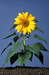 Sunflowers, Helianthus annuus, flower head and leaves growing, sequence, garden plant, annual.United Kingdom....