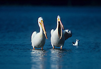 570047010 White Pelicans Pelecanus cryrhrorhynchos WILD.Ding Darling National Wildlife Refuge .Sanibel Island, Florida
