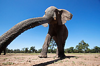 African Elephant reaching extending its trunk to sense, wide angle view (Loxodonta africana), Maasai Mara National Reserve, Kenya.