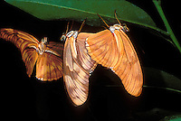 346200016 three captive julia butterflies dryas julia share a perch on the underside of a leaf in a butterfly garden in southern california