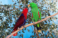 Eclectus Parrot (Eclectus roratus) male and female