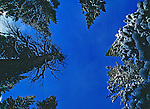 Looking up through the spruce trees while hiking to Lake Helene in Rocky Mountain National Park during winter.
