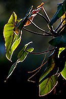 Brumadinho_MG, Brasil...Museu de Arte Contemporanea de Inhotim (CACI). Na Foto detalhe de uma folhagem...The Inhotim Contemporary Art Museum (CACI). In this photo, detail of a foliage...Foto: JOAO MARCOS ROSA / NITRO..
