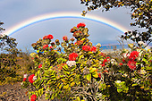 Ohia lehua, endemic to Hawai'i, is framed by a distant rainbow, Hawai'i Volcanoes National Park, Big Island.