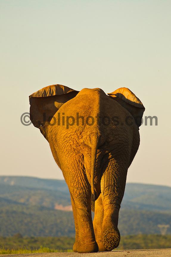 Port Elizabeth, South Africa (Sunday, July 17, 2011) - A Bull Elephant. Addo Elephant National Park. The park is a sanctuary to a multitude of game species and abundant birdlife including over 500 Elephants, Lions, Black Rhinos, Buffalos, Leopards and Zebra.  Photo: joliphotos.com