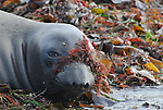 elephat seal with marine algae on face