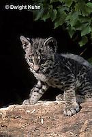 MA26-002z  Bobcat - young - Felis rufus