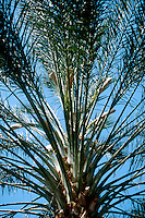 TREES - PLANTS<br /> Date Palm Fronds<br /> Southern CA