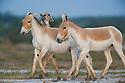 Indian wild asses (Equus hemionus khur) playing in clay pan, dry season