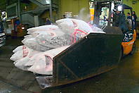 frozen tunas, Thunnus sp., transported by specially designed folk lift truck for auction, Tsukiji Fish Market or Tokyo Metropolitan Central Whalesale Market, the world's largest fish market  hadling over 2500 tons and over 400 different kind of fresh sea food per day