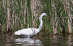 A Great Egret hunts for fish in a small restored habitat near Lake Nokomis