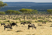 Wildebeest graze in the Massai Mara National Reserve. From their historic breading grounds in Tanzania's Ngorongoro Conservation Area to their long grazing layover in the Mara, each year an estimated1.5 million wildebeest along with thousands of zebra and gazelle make a 500-mile migratory circle..