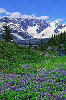 Field of Arctic lupine lupine wildflowers, Harriman Fjord, Chugach mountains, Prince William Sound, Alaska