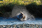 A Grizzly Bear takes a morning bath in the river in Katmai National Park, Alaska.
