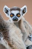 Ring-tailed Lemur face (Lemur catta), Berenty, Madagascar.