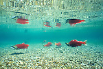 Sockeye salmon amass for spawning, Wood-Tikchik State Park, Alaska, USA