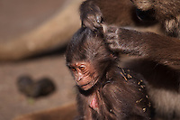 Gelada infant aged 1-3 months being groomed (Theropithecus gelada), Simien Mountains National Park, Ethiopia.