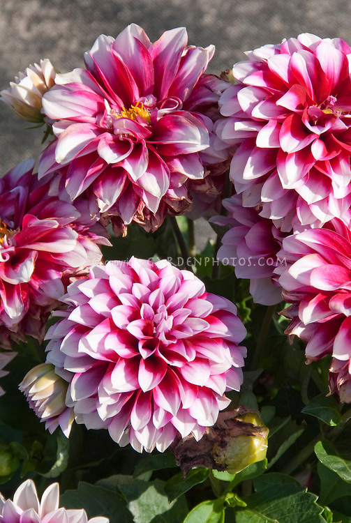 Dahlias 'Maxi Colima' Dalina Series flowers white with deep rose center