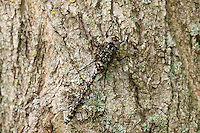 A female Harlequin Darner (Gomphaeschna furcillata) dragonfly perches on a tree trunk in spring.