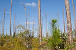 Grand Bahama Island, The Bahamas; new growth Caribbean Pine (Caribaea vs bahamensis) trees amongst older mature trees
