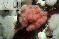 Sea strawberry ,Gersemia rubiformis, British Columbia