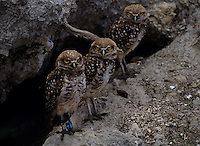 Burrowing owls peek out from their home in a neighborhood.<br /> Researchers fear the endangered owl may be threatened by the Nile Monitor lizard breeding nearby which adds to the pressures already on them by suburban sprawl.