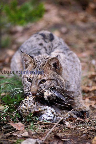 A male bobcat (Felis rufus) eating a grouse. Captive, Montana.