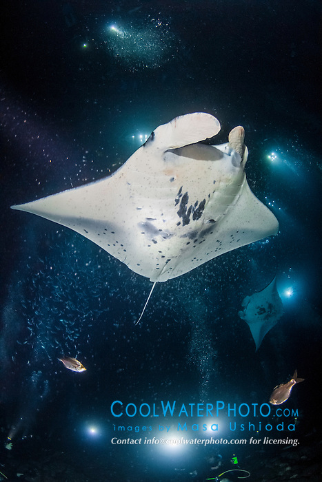 reef manta ray, Manta alfredi, feeding frenzy at night, funneling plankton gathered around divers' artificial lights, dive site: Manta Heaven, Kona Coast, Big Island, Hawaii, USA, Pacific Ocean