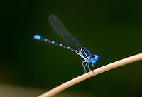 338400002 a wild male blue-ringed dancer damselfly argia sedula perches on a twig at independence park on the guadalupe river in gonzales in gonzales county texas