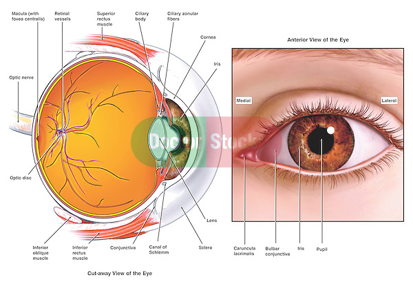 This medical exhibit portrays the anatomy of the eye from a sagittal (cut-away) view and an anterior (front) view. Labeled items on the eyeball include the cornea, iris, pupil, lens, sclera, ciliary zonular fibers, canal of Schlemm, bulbar conjunctiva, inferior rectus muscle, superior rectus muscle, inferior oblique muscle, macula (with fovea centralis) optic nerve, optic disc, retina, retinal vessels and caruncula lacrimalis, or lacrimal caruncle.