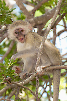 Vervet or Green Monkey (Cercopithecus aethiops), South Africa.