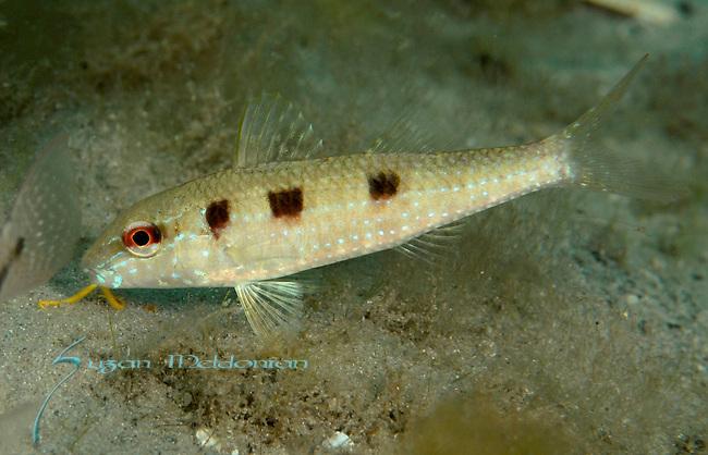Dwarf Goatfish Juvi, upeneus parvus