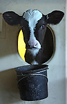 A calf waits to be fed at a local dairy farm in western Marin County, California.