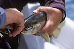 A fisherman removes a fly from a rainbow trout from the Missouri River in Montana