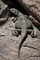 414050005 a wild chuckwalla sauromalus obesus basks on a volcanic rock near eureka dunes california