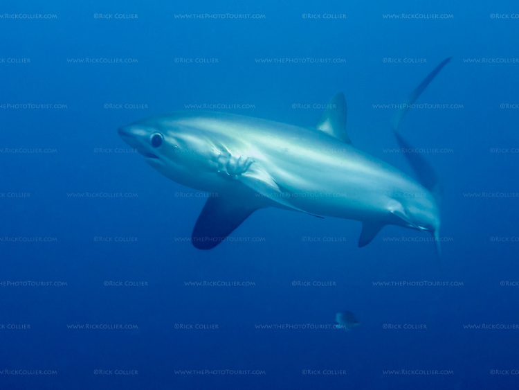 A thresher shark turns away at the last minute, as its natural caution overcomes curiosity.  At Monad Shoal, near Malapascua Island, in the Central Visayas, the Philippines.