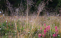Deschampsia cespitosa, tufted hairgrass in California native grass in Sierra meadow